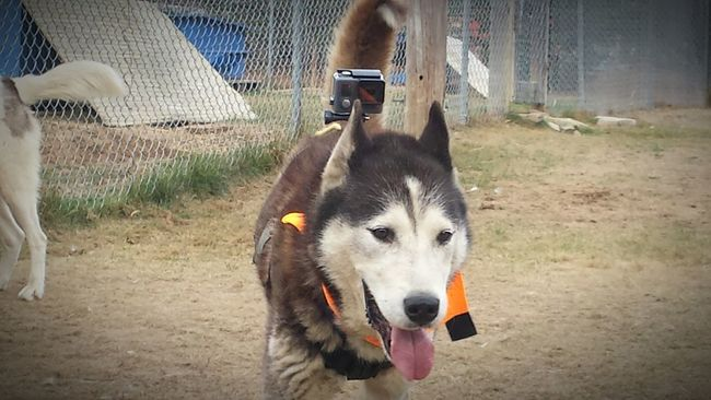 Yoda being a camera.. dog Goprodog Gopro Siberian Husky Fortilliokennels