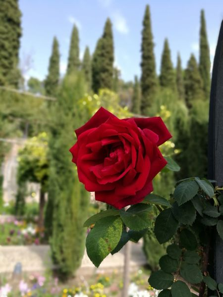 Flower Red Nature Rose - Flower Beauty In Nature Plant Growth Petal Flower Head Fragility Outdoors Focus On Foreground No People Day Leaf Close-up Freshness Beauty Tree