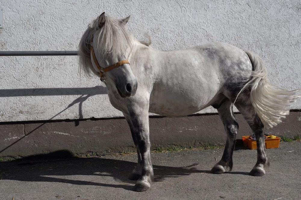 WHITE AND WILD but lovely hair... Pony Animal White Pony