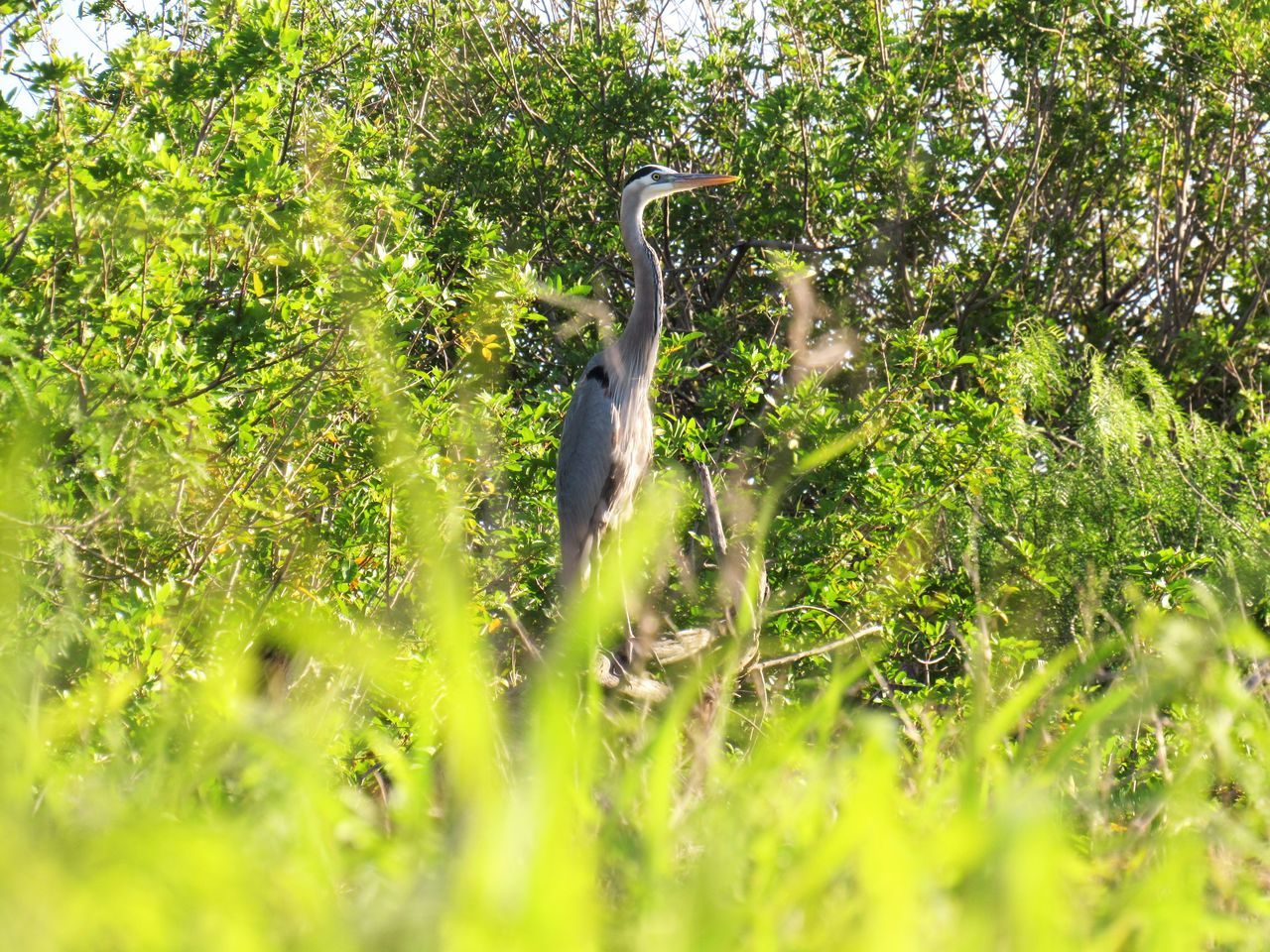 The Blue Heron Animal Themes Animal Wildlife Animals In The Wild Beauty In Nature Bird Blue Heron Bird Day Grass Gray Heron Green Color Heron Nature No People One Animal Outdoors Premium Collection