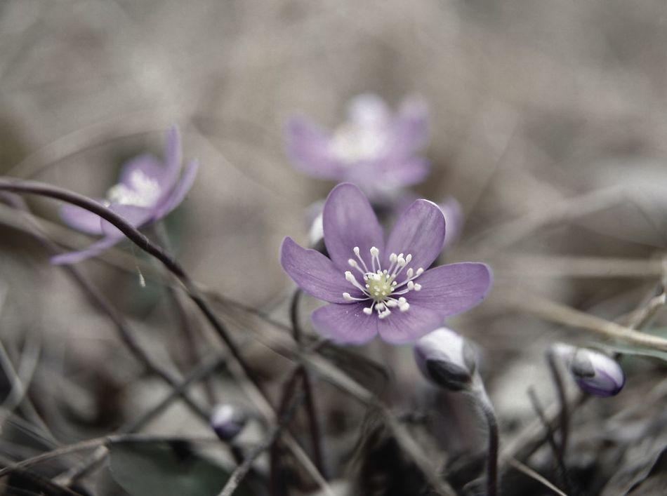 Budding flowers Budding Flower Flower Purple Nature Purple Springtime