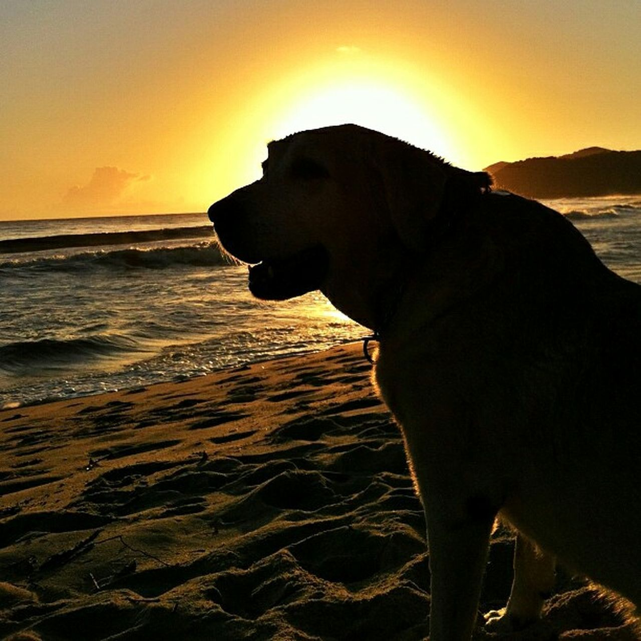 Summer Dogs Labrador Retriever Beach Sunset Silhouettes Dog Warm Contemplating Summertime