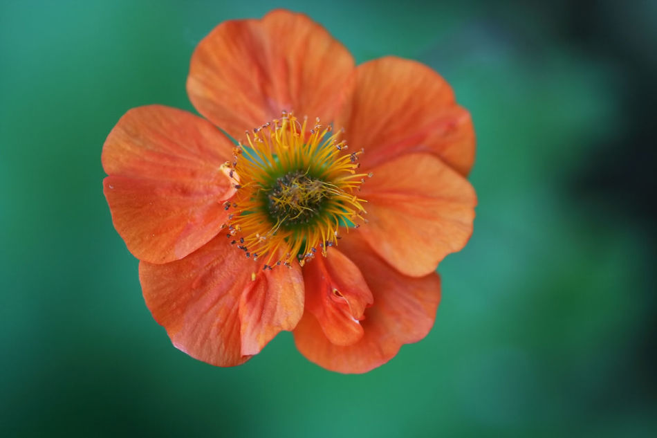 Beauty In Nature Blooming Blossom Close-up Day Flower Flower Head Focus On Foreground Fragility Freshness Geum Flower Growth In Bloom Nature Orange Orange Color Petal Plant Pollen Red Single Flower Stamen