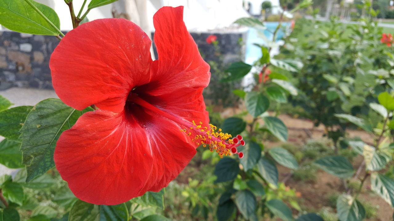 red flower in focus 3 Beauty In Nature Blooming Close-up Day Flower Flower Head Fragility Freshness Growth Leaf Nature No People Outdoors Petal Plant Red