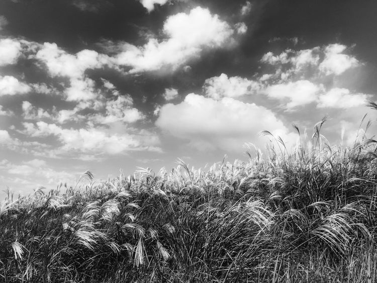 Flame grass in Jeju island, Korea IPhoneography Monochrome Black & White Beautiful Nature Grassfield Autumn 2015 Autumn JEJU ISLAND  Korea Landscape_bw