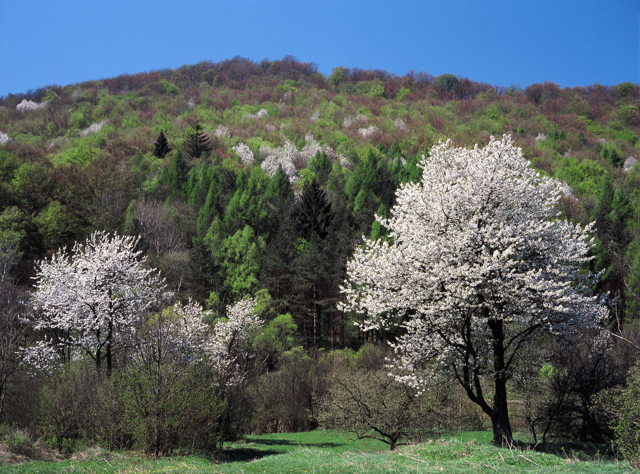 Apple Tree Beskid Niski Flowering Huta Polanska Huta Polanska Mountain Mountains Poland Polen Spring Tree White