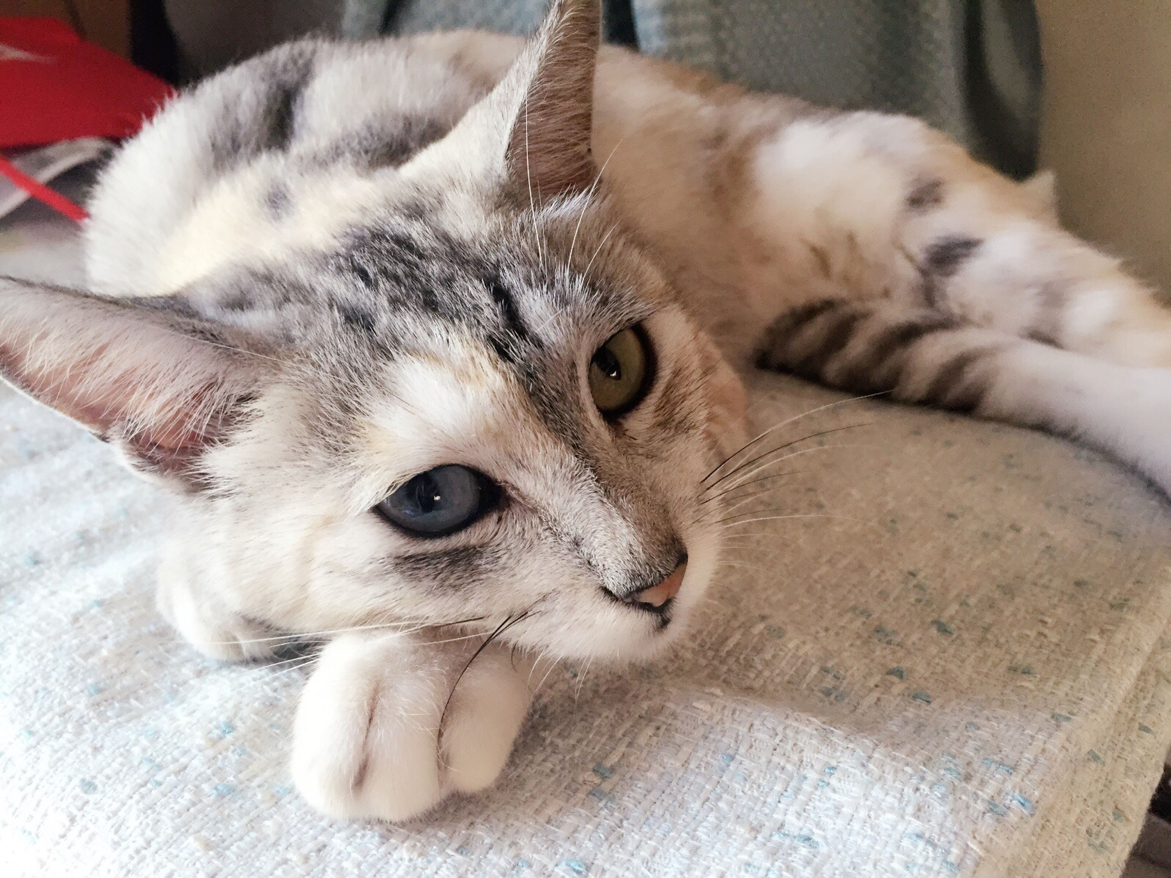 pets, domestic animals, indoors, animal themes, one animal, domestic cat, mammal, cat, relaxation, feline, whisker, looking at camera, home interior, portrait, close-up, lying down, resting, animal head, flooring, high angle view