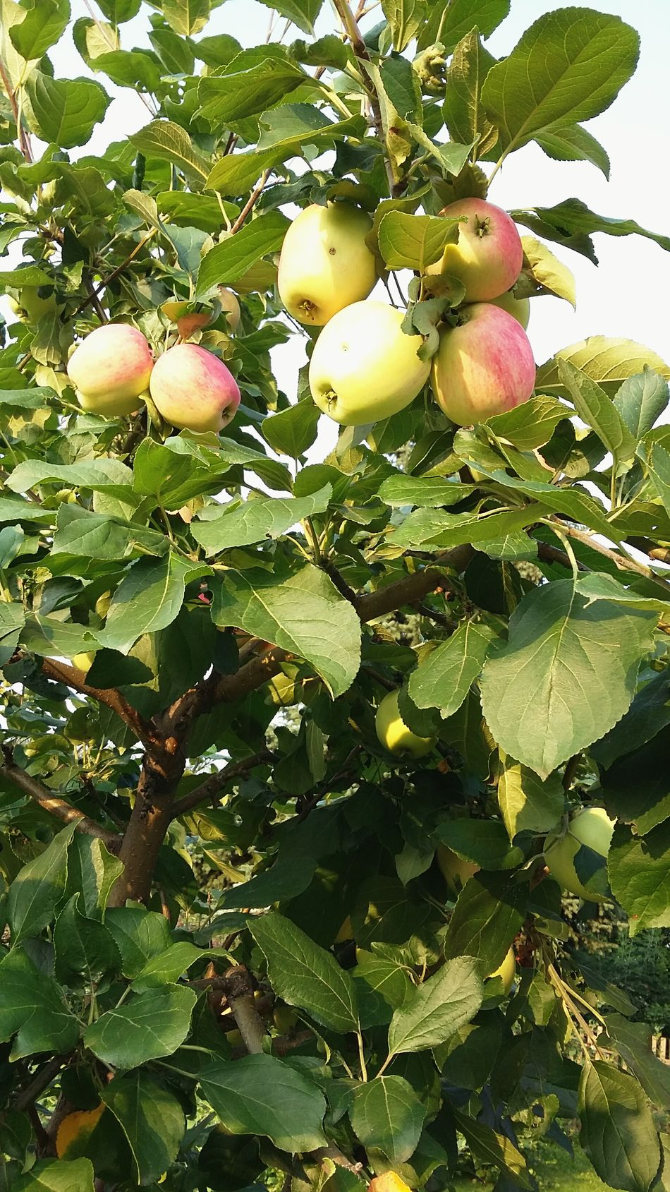 My lovely Apples 🍎🍏 Food And Drink Fruit Green Color Healthy Eating Food Tree