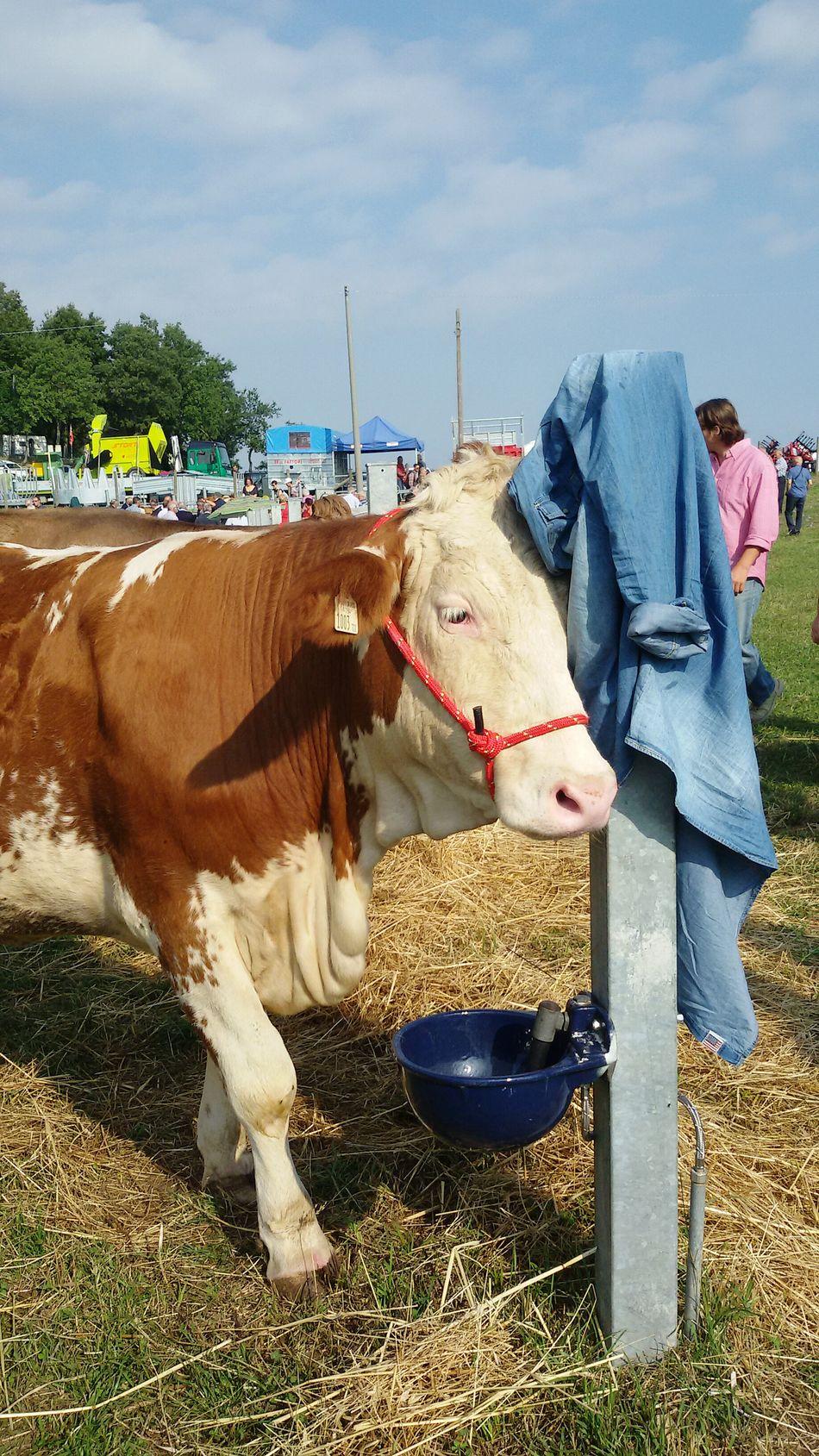 Herbivorous One Animal Animal Themes Animal Rural Scene Mucca
