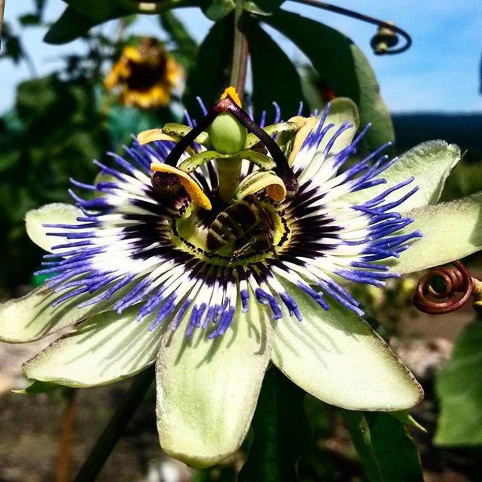 Ipomea Flowers Floweroftheday Flower Blume Passionfruit Passion Passionflower Bee Biene Gartenliebe Garten Garden Gartengott