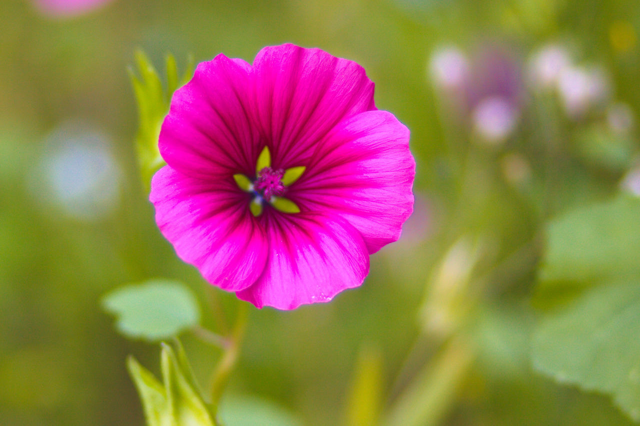 flower, petal, flower head, fragility, nature, beauty in nature, growth, focus on foreground, plant, freshness, pink color, blooming, day, outdoors, no people, close-up, petunia