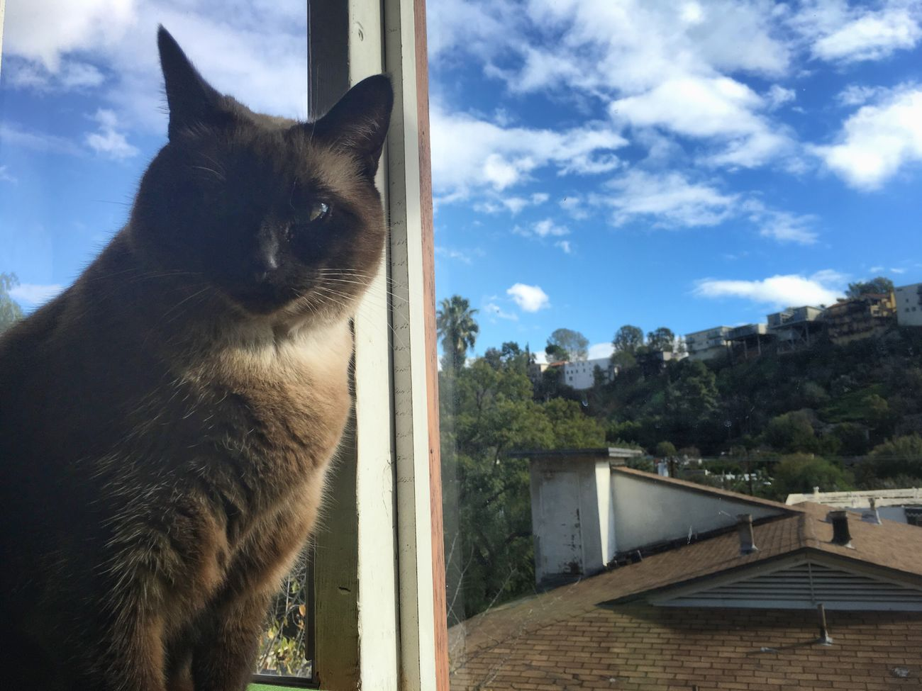 Domestic Cat Domestic Animals Pets One Animal Sky Feline Building Exterior Window No People Cat Day Tree Indoors  Nature Architecture Siamese Cat California Canyon Palm Tree Blue Sky Tranquility Mammal Close-up Animal Themes Los Angeles, California