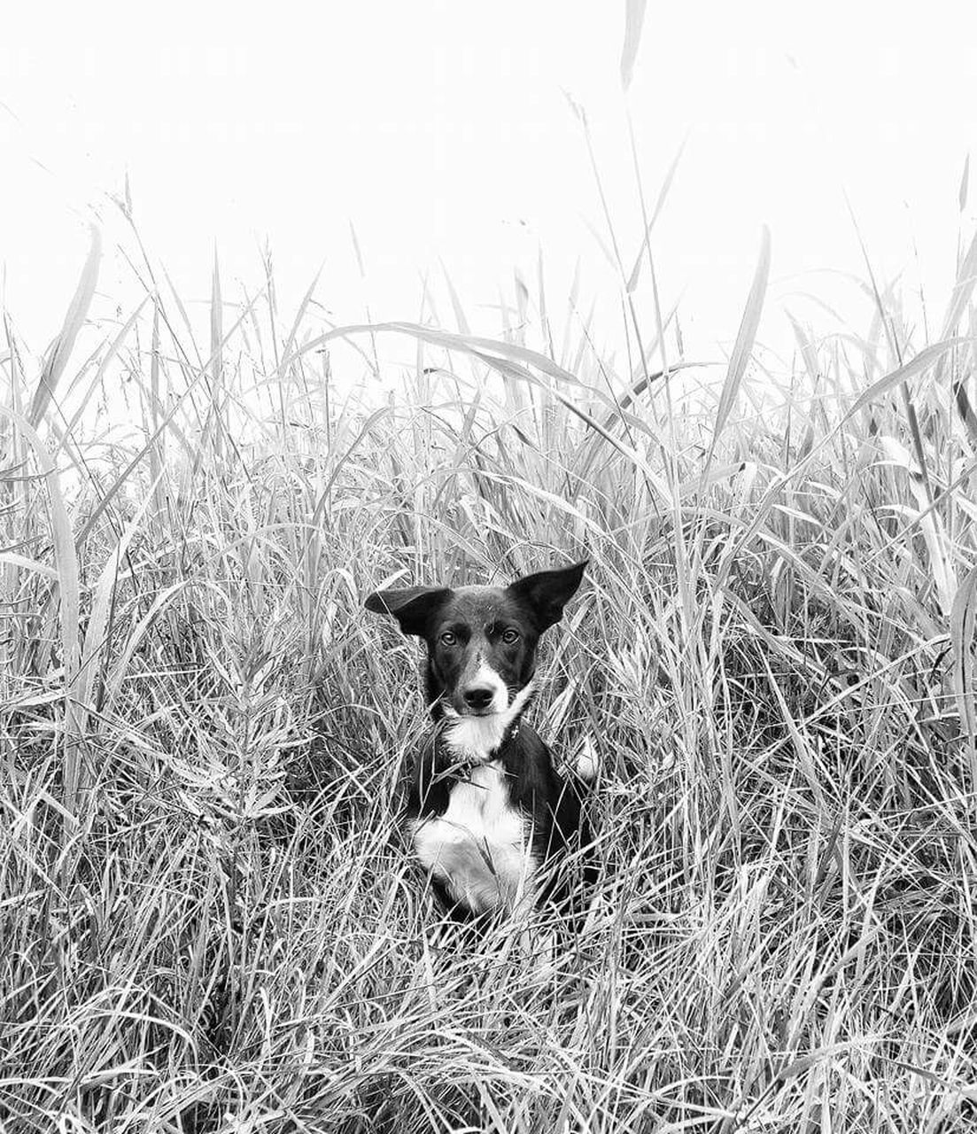 domestic animals, animal themes, mammal, pets, grass, one animal, dog, outdoors, looking at camera, portrait, field, day, alertness, no people, nature, sitting