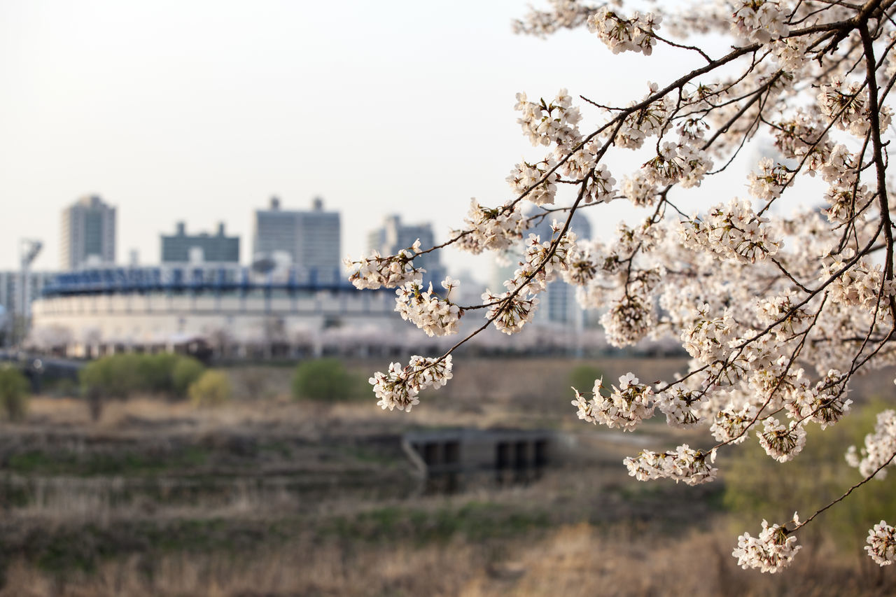 Beauty In Nature Blooming Blossom Branch Built Structure Cherry Blossom Clear Sky Day Flower Focus On Foreground Fragility Freshness Growth In Bloom Mokdium Nature Petal Plant Spring Time Springtime Tree White Color
