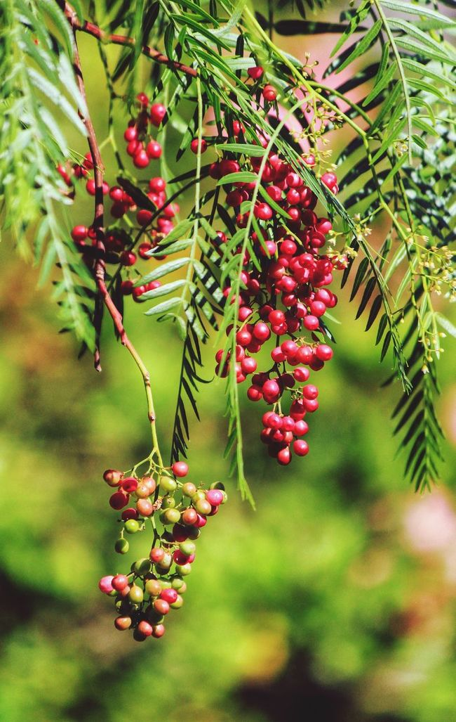 Berries Berries Collection Red Berries Red Berries On Tree Berries... Berries On Tree Berries On Branch Berries On A Branch Red Berry Red Berry ... Red Berry Bush Red Berry Bushes Red Berries In Tree Tree Fruit Tree Berry Bunch Of Berries