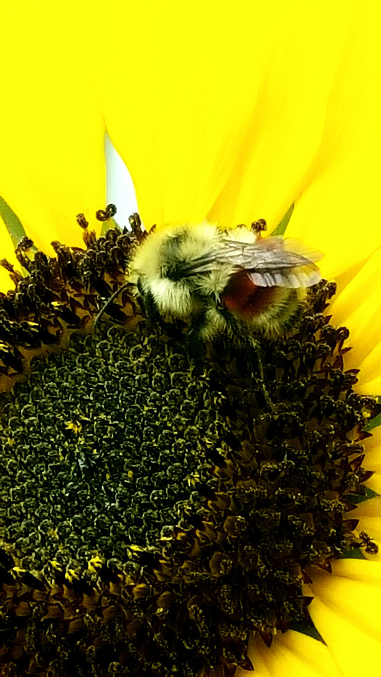 Sunflower Bumble Bee Collecting Pollen Bumblebee Flowers,Plants & Garden Yellow Flower Nature Photography Bee Insect Photography Bright Colors Colour Of Life Milenamulskephotography Color Palette Follow Please A Bird's Eye View I LOVE PHOTOGRAPHY