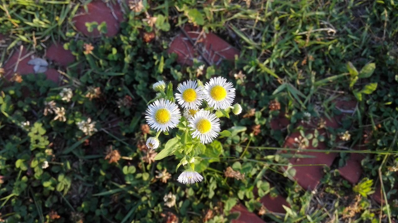 High Angle View Of Daises Blooming On Field