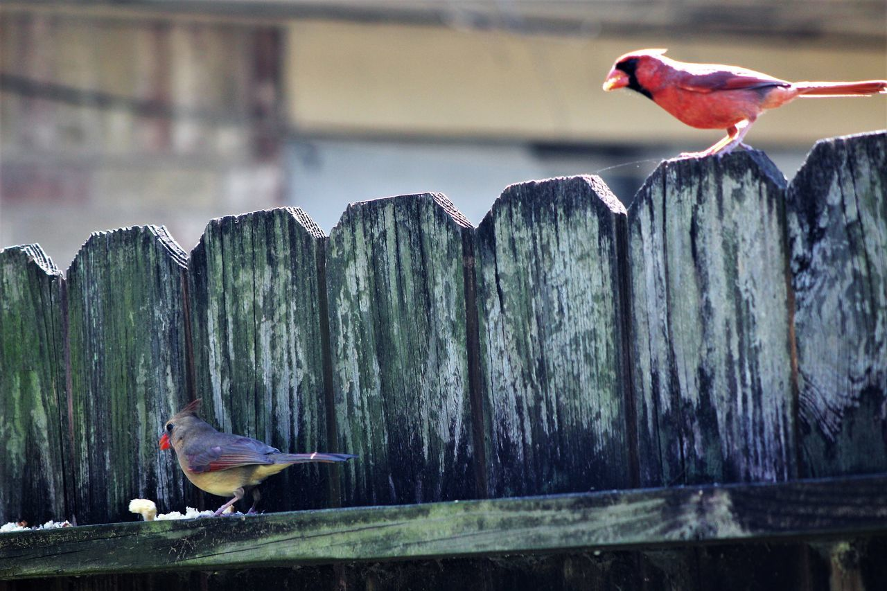Animal Themes Animals In The Wild Bird Close-up Day Nature No People One Animal Outdoors Perching Wood - Material Fences Things In My Back Yard Canonphotography Manual Focus Redbird