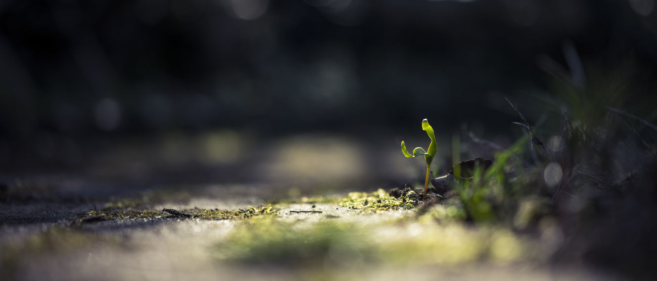 A maple tree seed that has sprouted. Banner Beauty In Nature Cinematic Close-up Detail Emotion Fresh Green Ground Growing Growth Maple Seed Maple Tree Moss Nature No People Scene Seedling Sharp Spring Sprouting Sunshine Tranquil Scene Wide Young