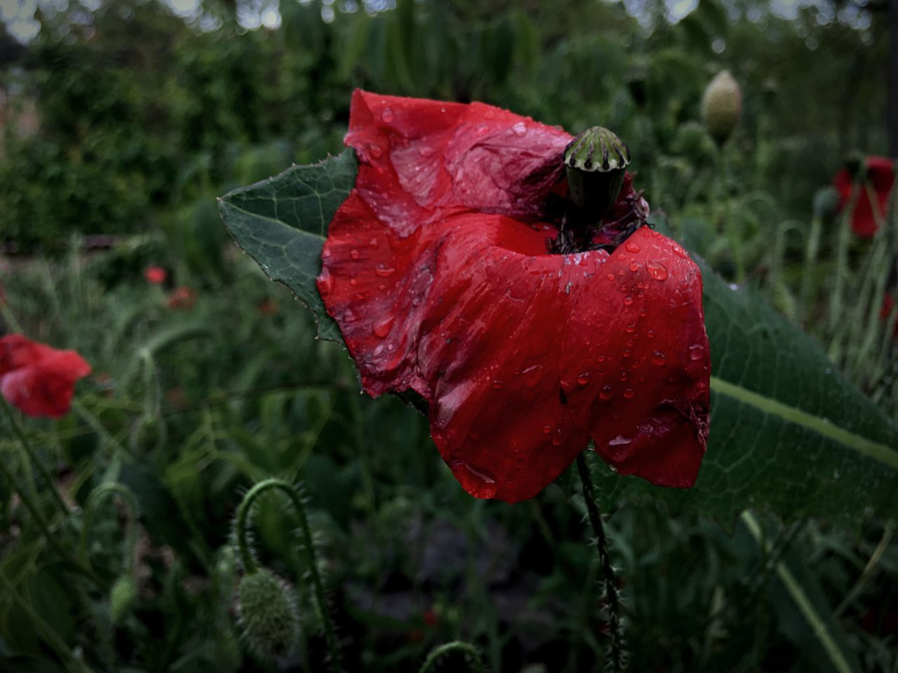 Plant Nature Growth Flower Red Fragility Beauty In Nature Freshness Petal Wet Close-up Outdoors No People Blooming Flower Head Day Animal Themes Poppy Poppy Flowers