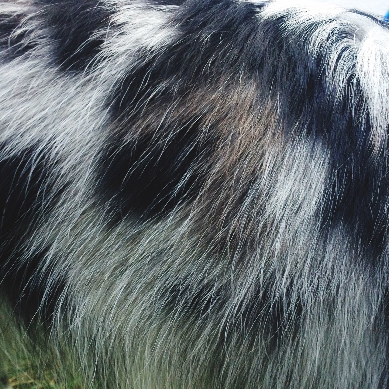 Learn & Shoot: Simplicity Dog Coat Blue Merle