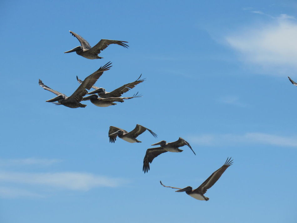 Air Force Airshow Animals In The Wild Brown Pelicans Day Flying Low Angle View Mid-air Military Motion No People Outdoors Sky Premium Collection