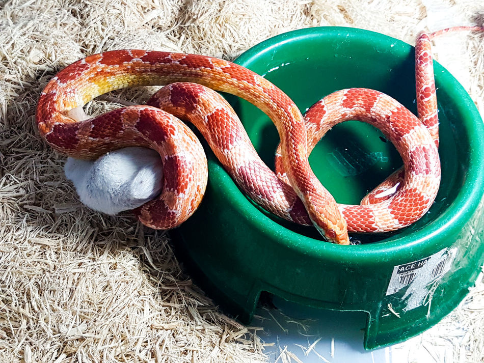 Cornsnake Drinkandclick Drinking Reptile Reptiles Snake Strangler Fig Thirstysnake Whitemice