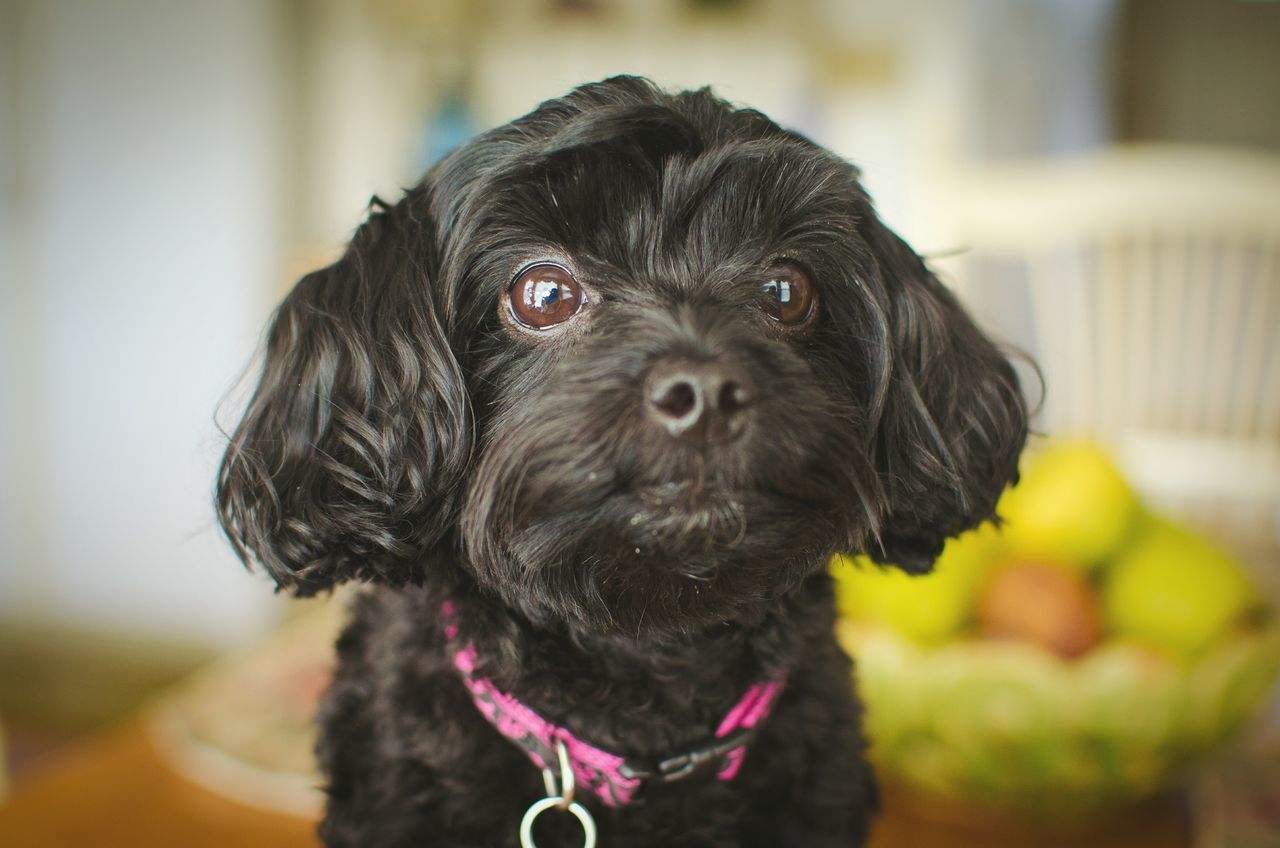 My pup Cheese! Dog Puppy Cute Hi! Love Photography Nikonphotography Nikon D5100  Good Morning Yorkie Yorkipoo Poodle Aww