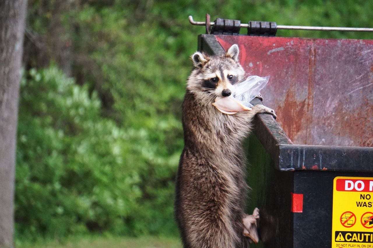 Raccoon Dumpster One Animal Mammal Outdoors No People Nature Dumpsterdiving Marauder Eating Scavenger Scavenging Wildlife & Nature Wildlife Animal Themes Trash