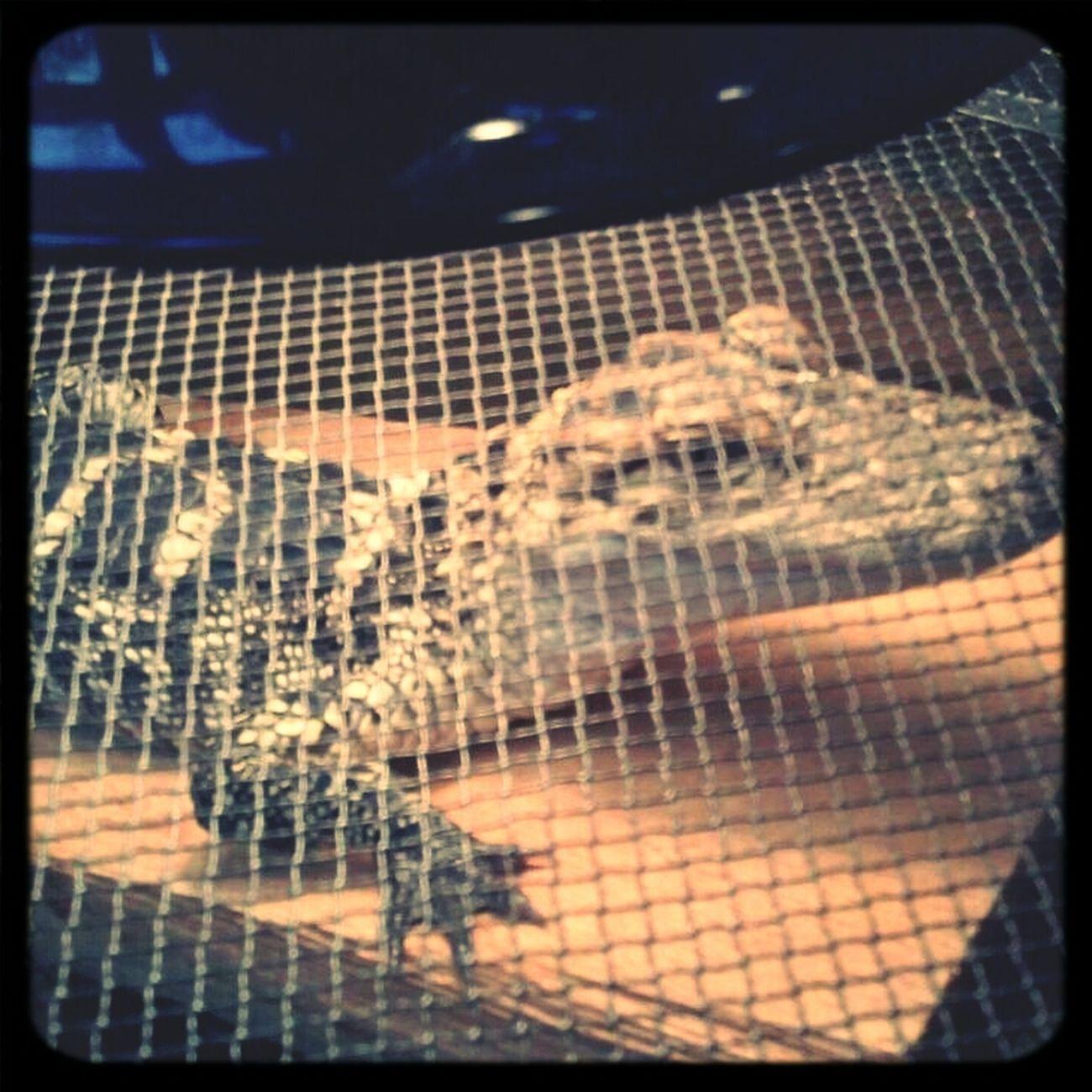 #alligator