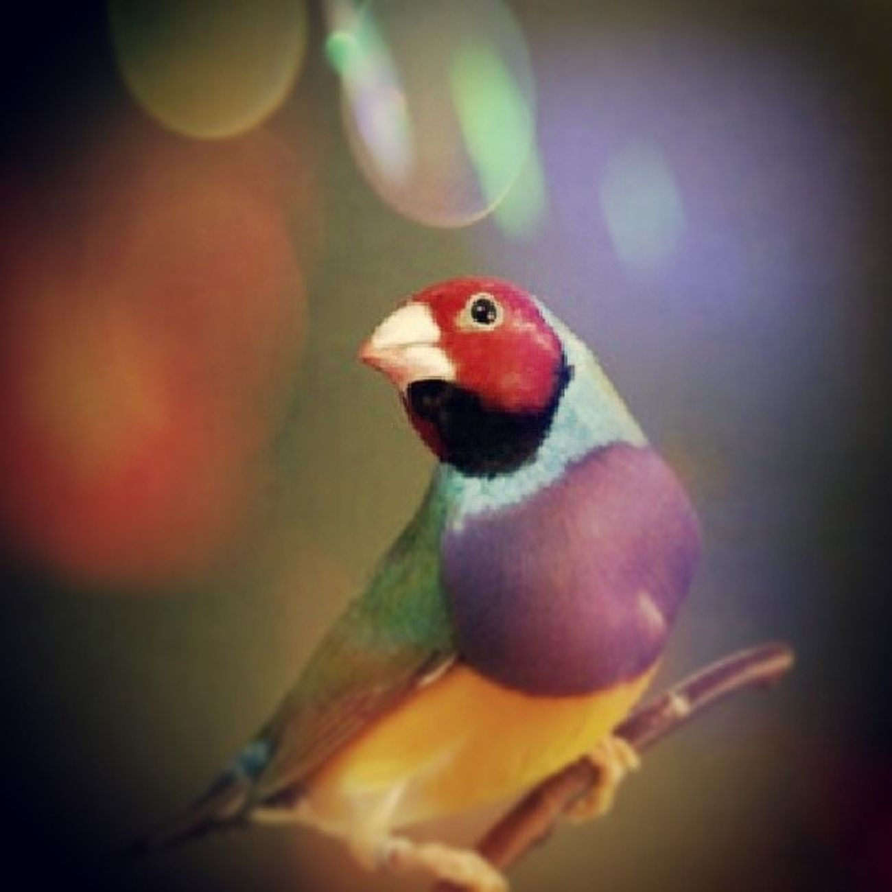 Diamantedigould Diamond Gould Bird