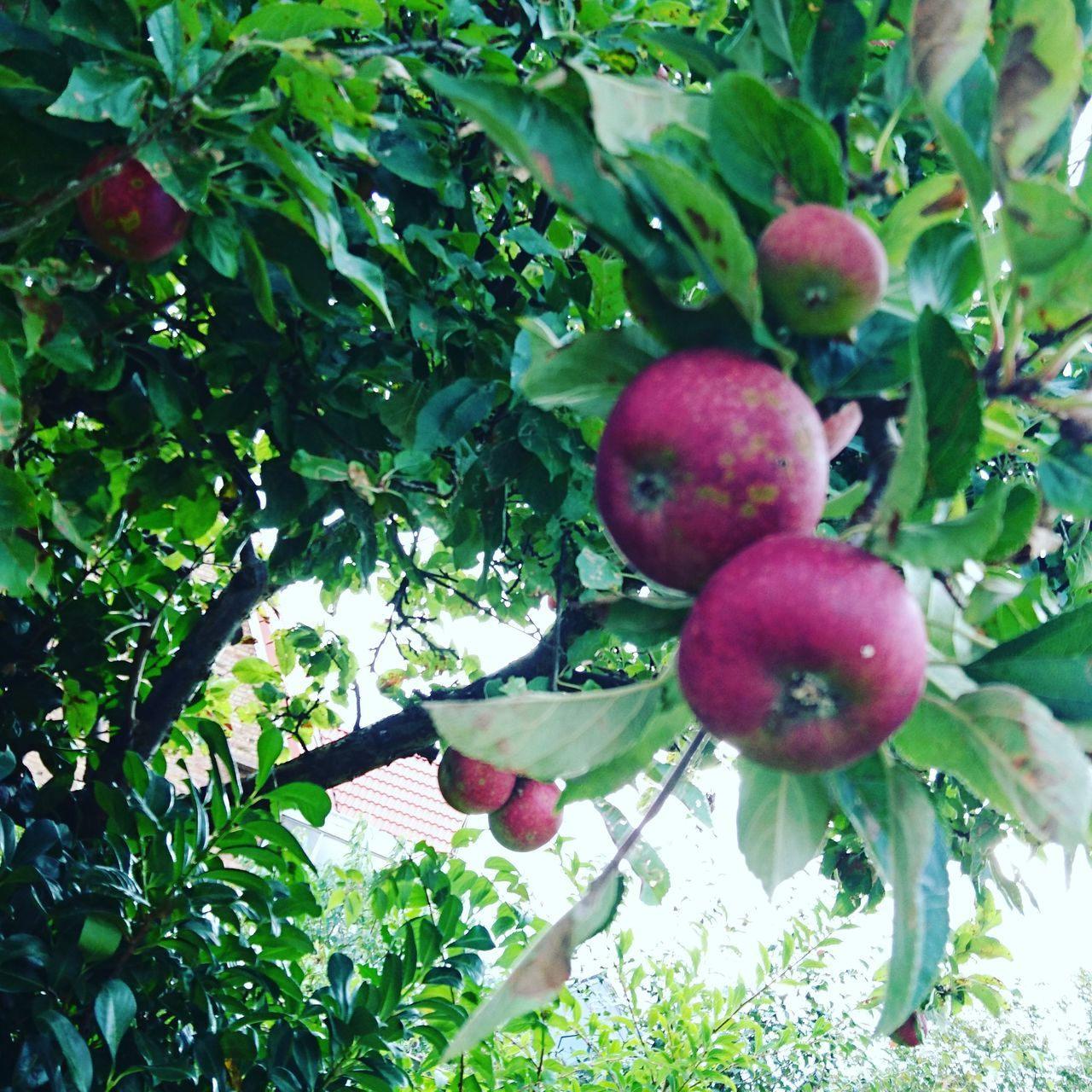 Picking apples in the garden Fruit Growth Tree Food And Drink Freshness Food Apples Healthy Eating Leaf Nature Green Color Branch Close-up Horizontal Outdoors No People Agriculture Day