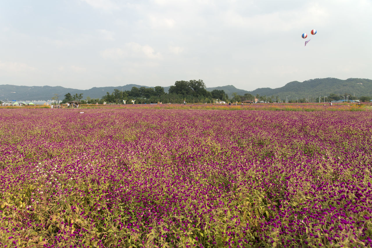 festival of globe amaranth flower at Nari Park in Yangju, Gyeonggido, South Korea Globe Amaranth Flower Agriculture Beauty In Nature Day Field Flower Flying Fragility Freshness Globe Amaranth Growth Landscape Mountain Nature No People Outdoors Plant Rural Scene Scenics Sky Tranquil Scene Tranquility