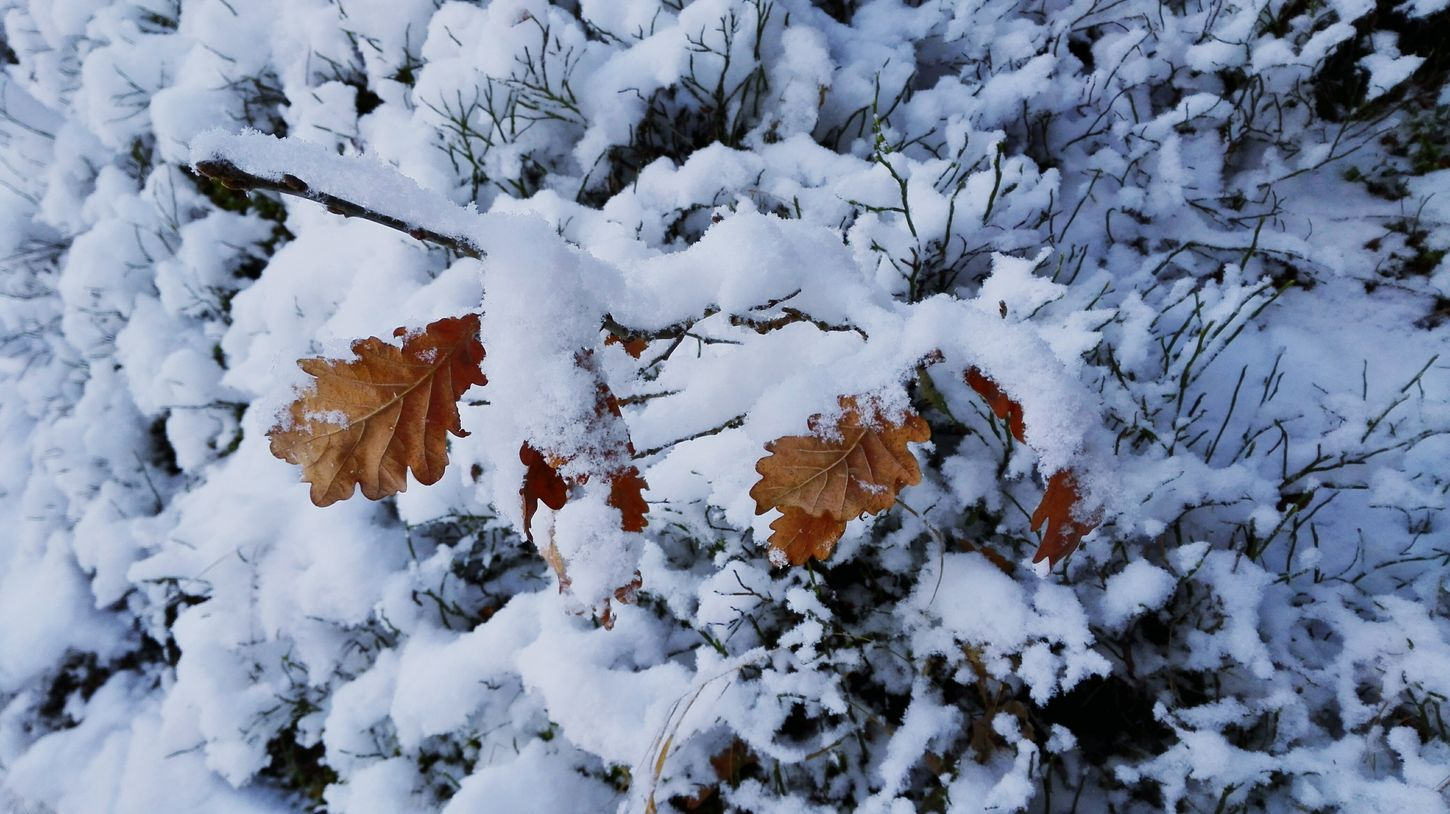 Snow Winter Leaves Color White Fresh Snow Mountain Details Of Nature Walk In The Snow