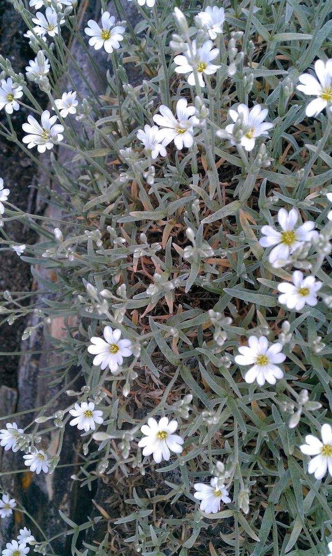 'Snow In June Abundance Beauty In Nature Bloom Blossom Botany Close-up Day Flower Flower Head Fragility Freshness Full Frame Growing Growth In Bloom Nature Outdoors Petal Plant Springtime White Color