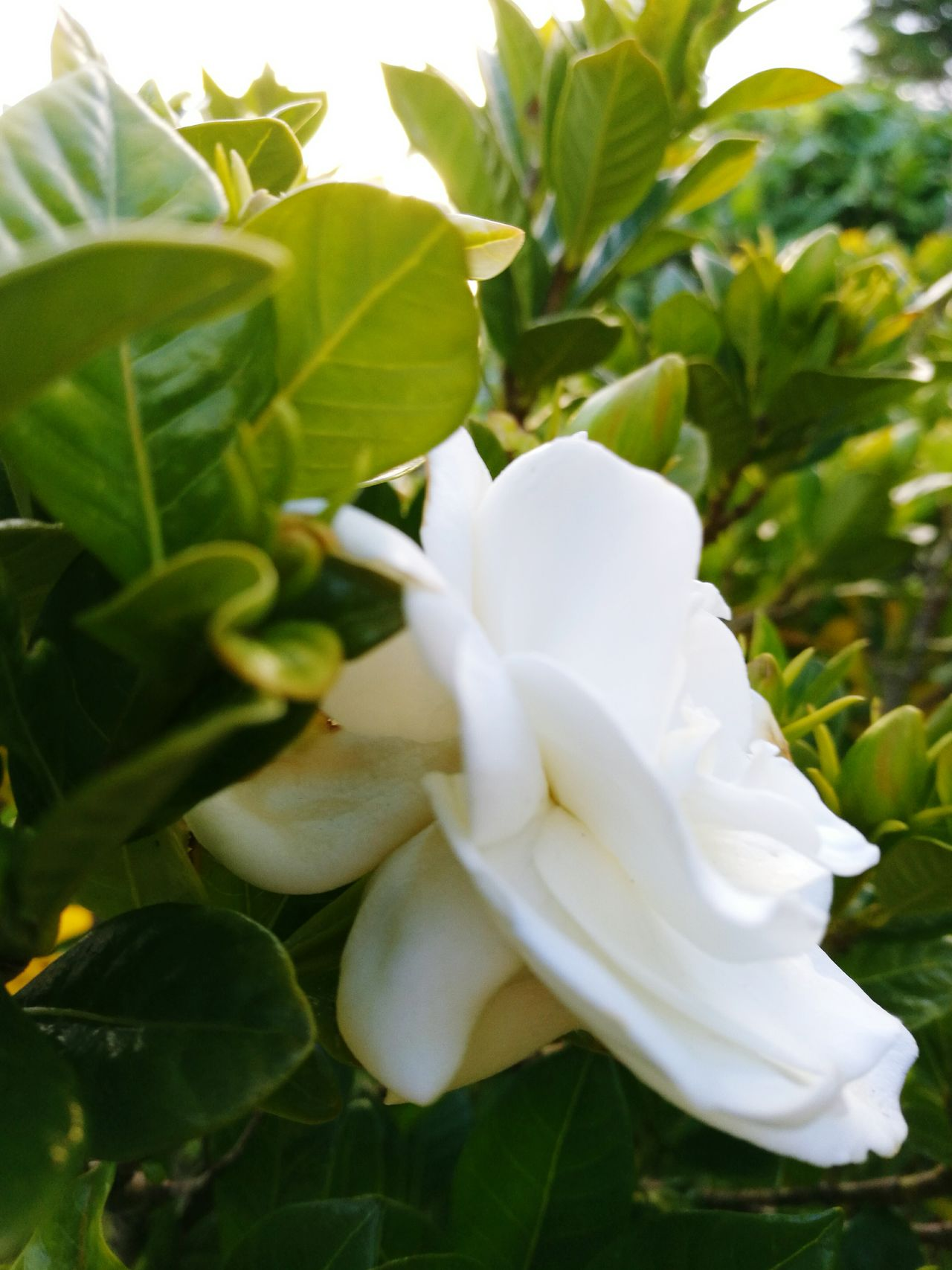Gardenia Flower Gardenia My Frontyard Garden Photography Beauty In Nature Flower White Color Nature Beautiful Close-up DayGrowth Fresh Flowers Leaves🌿 My Point Of View Flower Photography Plants 🌱