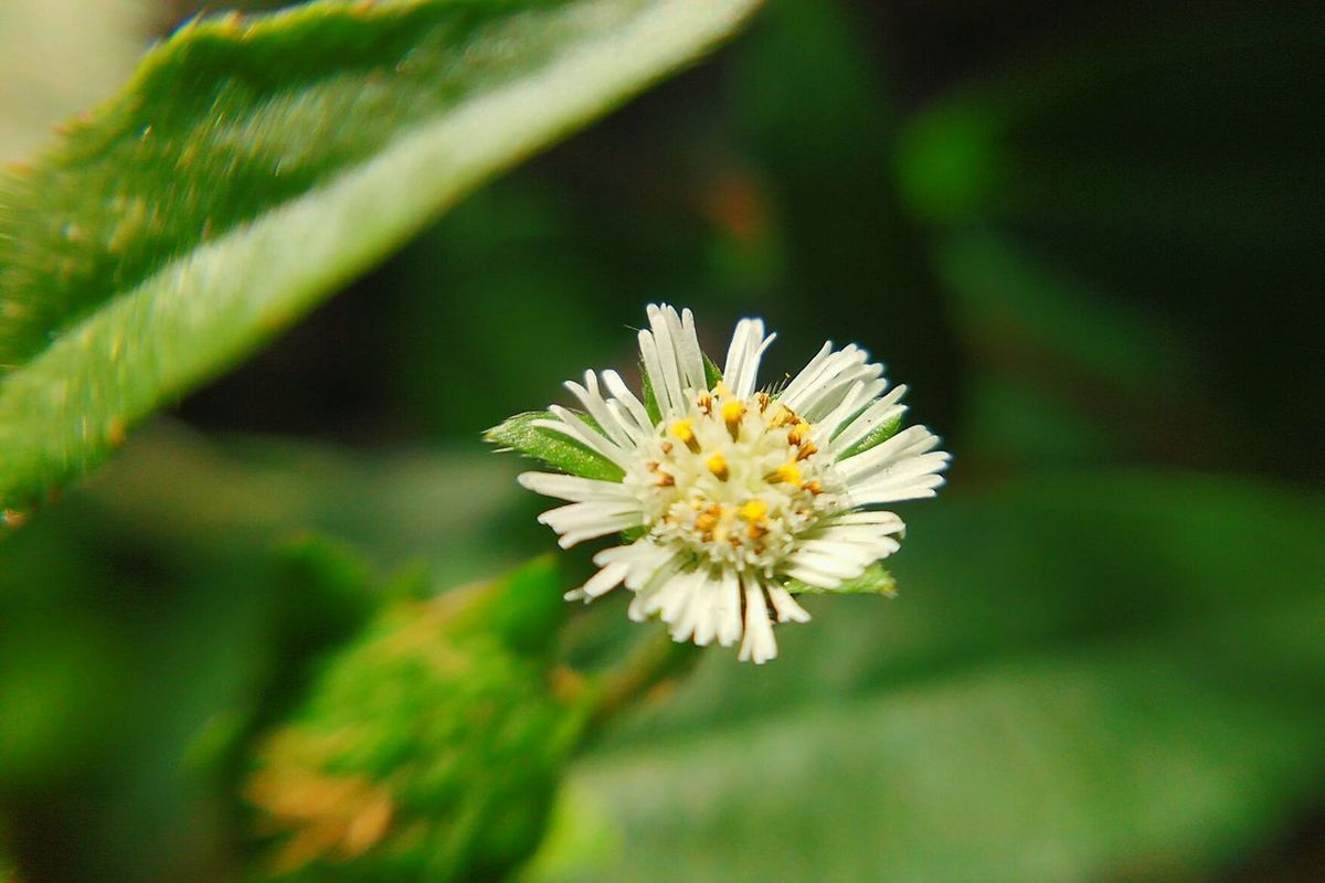 Tiny white flower.. Flower White Color Nature Blossom Close-up Flower Head Plant Selective FocusBeauty In Nature Green Color Leaf