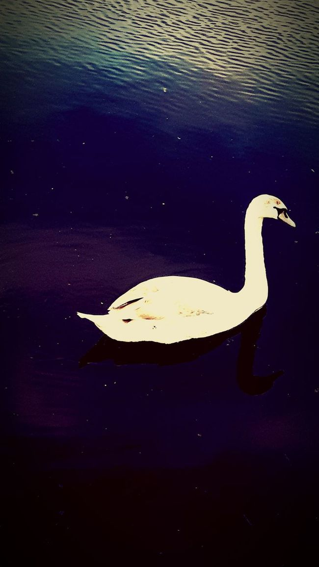 Water Animal Themes Animals In The Wild Lake Wildlife Swan One Animal Bird Swimming High Angle View Waterfront Rippled Nature Zoology Tranquility Water Surface Non-urban Scene Water Bird No People
