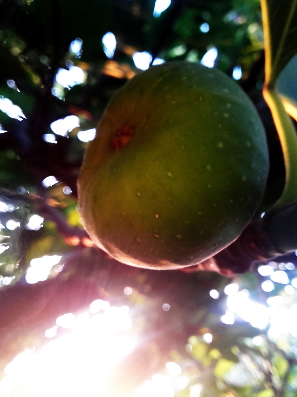 fruit, tree, food and drink, food, healthy eating, freshness, green color, growth, nature, no people, close-up, outdoors, day, branch