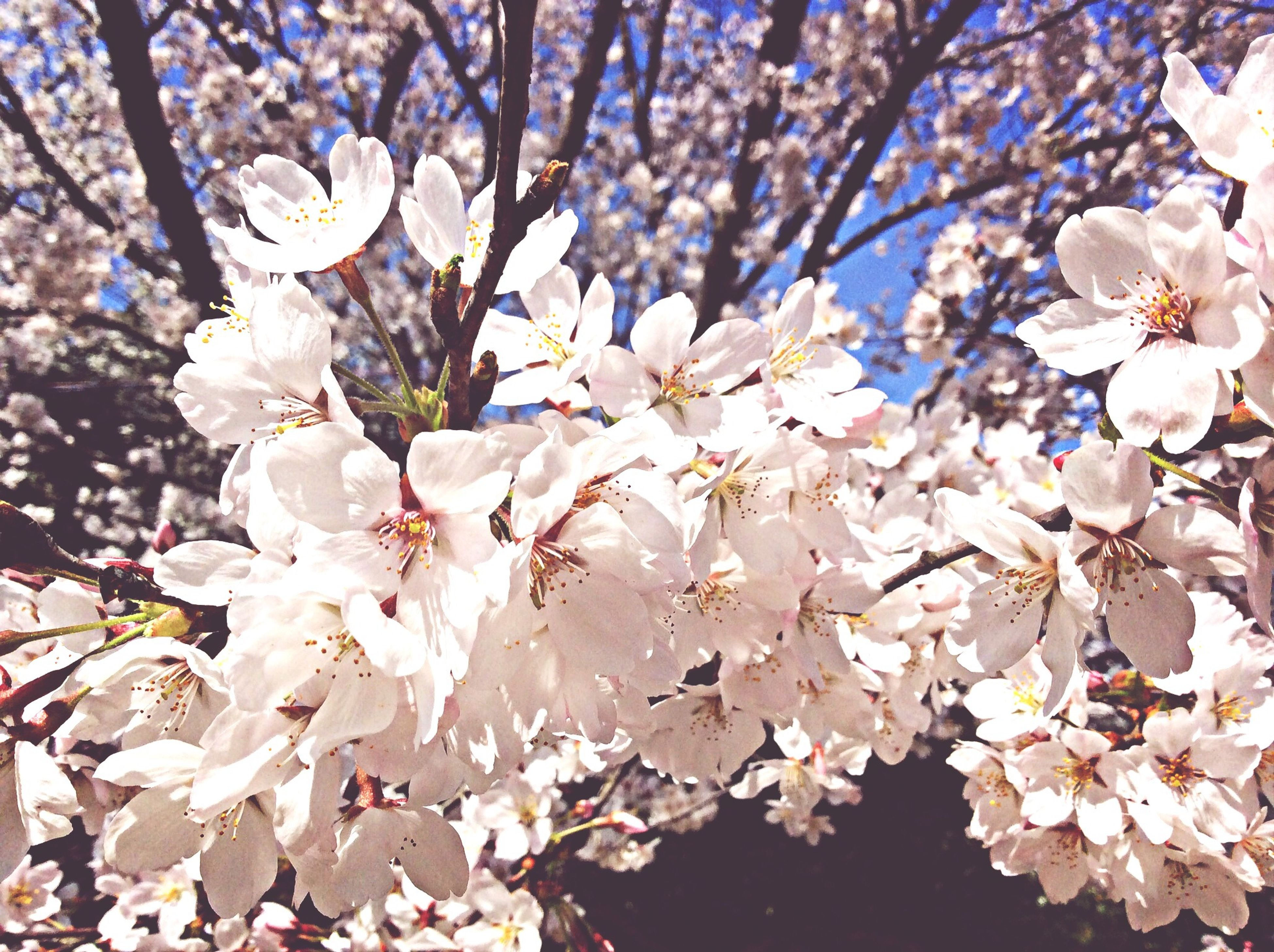 flower, freshness, growth, fragility, branch, beauty in nature, blossom, nature, petal, cherry blossom, tree, white color, in bloom, blooming, cherry tree, springtime, close-up, flower head, botany, day