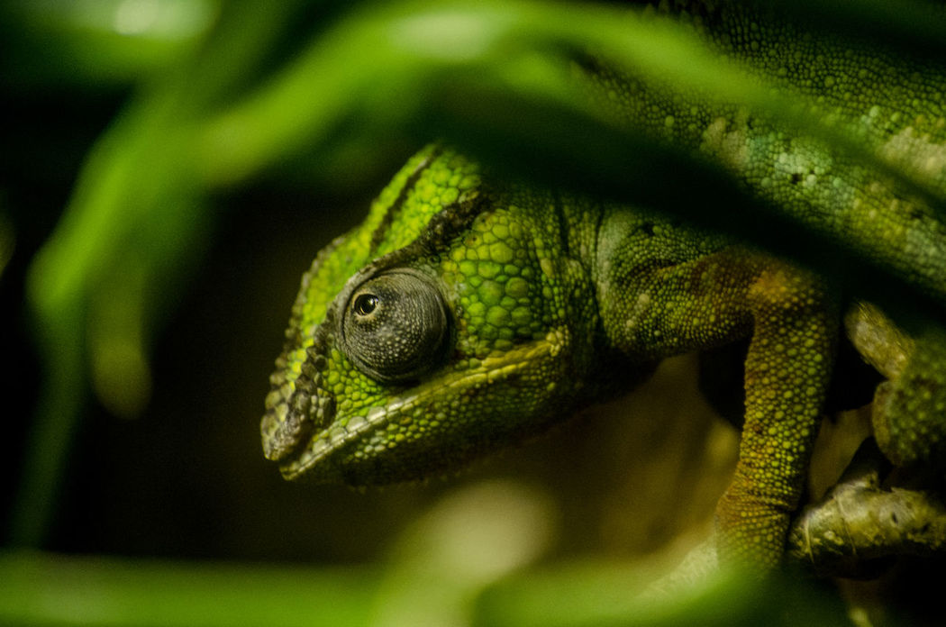 Chameleon Chameleon Eye One Animal Nature Green No People Reptile