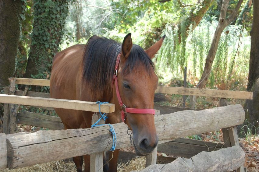 Animal Animal Hair Animal Head  Animal Pen Animal Themes Brown Day Domestic Animals Fence Herbivorous Horse Livestock Mammal One Animal Outdoors Ranch Standing Tree Vertebrate Wooden Working Animal Zoology