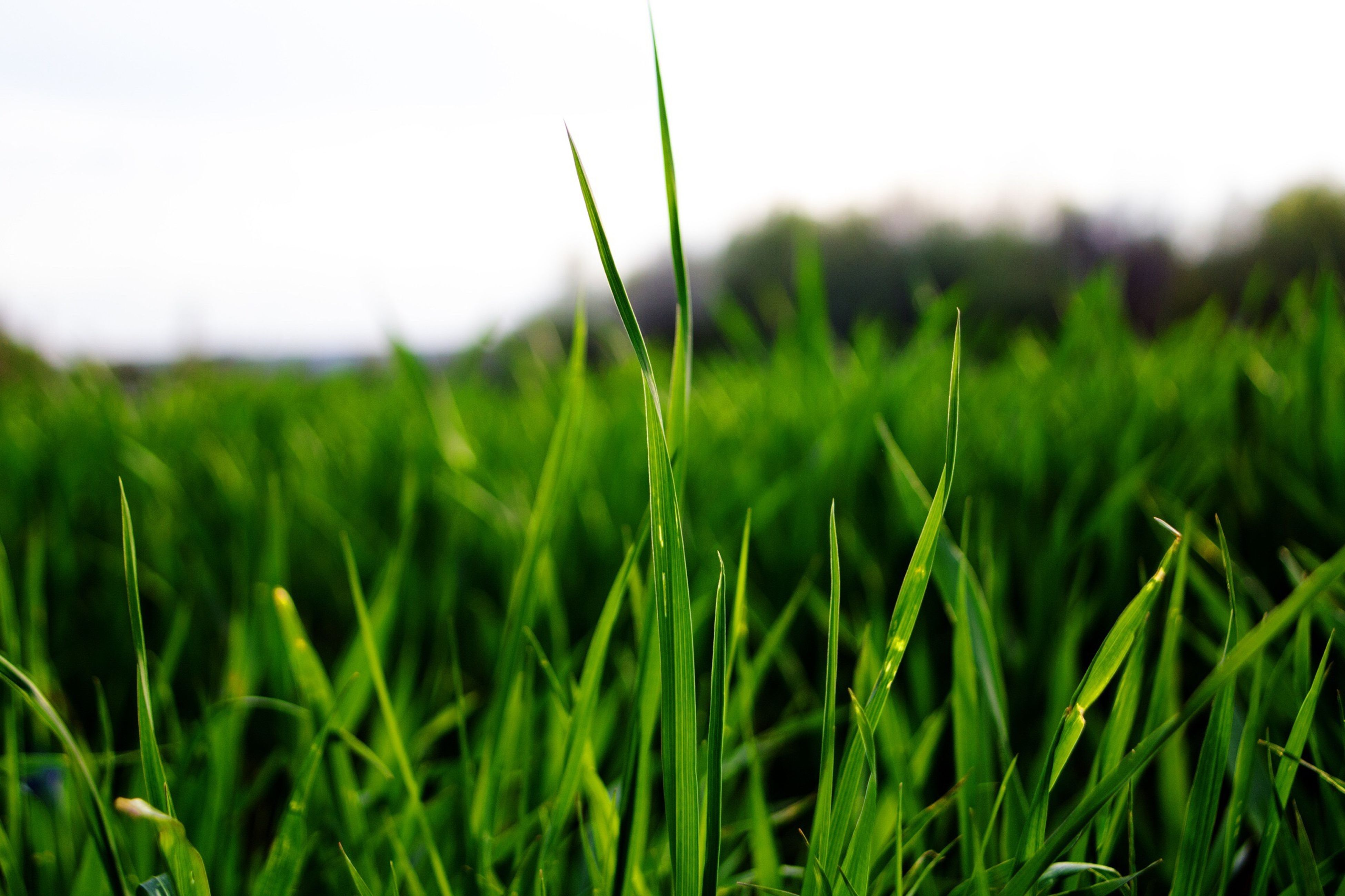 grass, field, growth, green color, blade of grass, nature, beauty in nature, tranquility, focus on foreground, plant, selective focus, rural scene, landscape, clear sky, agriculture, tranquil scene, farm, grassy, close-up, crop
