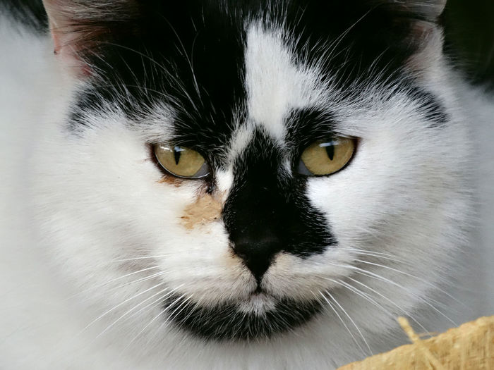 Tricolor cat Animal Eye Animal Themes Cat Looking At The Camera Cat Looking At You Cat Portrait Close-up Confidential Domestic Animals Domestic Cat Feline Look At Me Look At My Eyes Looking At Camera Mammal Melancholy Cat One Animal Pets Portrait Tricolour Cat Tricoloured Whisker Yellow Eyes