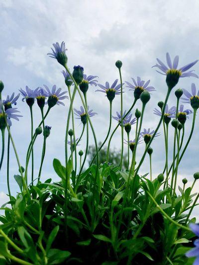 Blaue Margerite ... Naturelovers Nature Hello World Loveee ♥ Pflanzenwelt Itsabeautifulworld Romantic Blümchenliebe Blümchen Für Euch Flowers Lovely Blumenpracht🌺🍃 Home Sweet Home