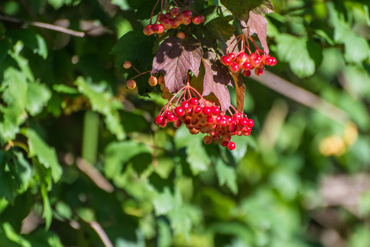 red berries plant Beauty In Nature Berries Close-up Day Freshness Friends Growing Growth Nature No People Outdoors Plant Red