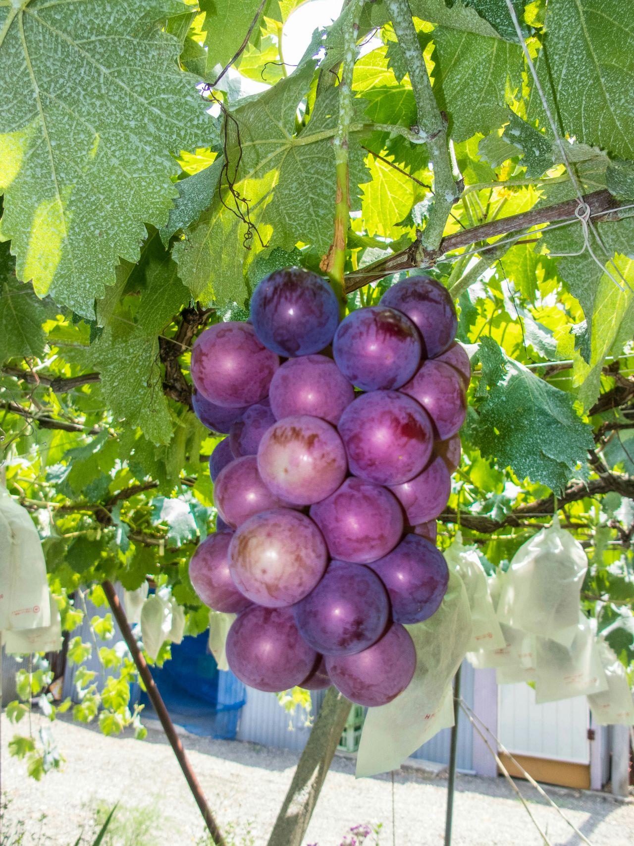 The Foodie - 2015 EyeEm Awards Budo Foodporn Foodie Food Photography Wine Winery Vin Raisins Raisin