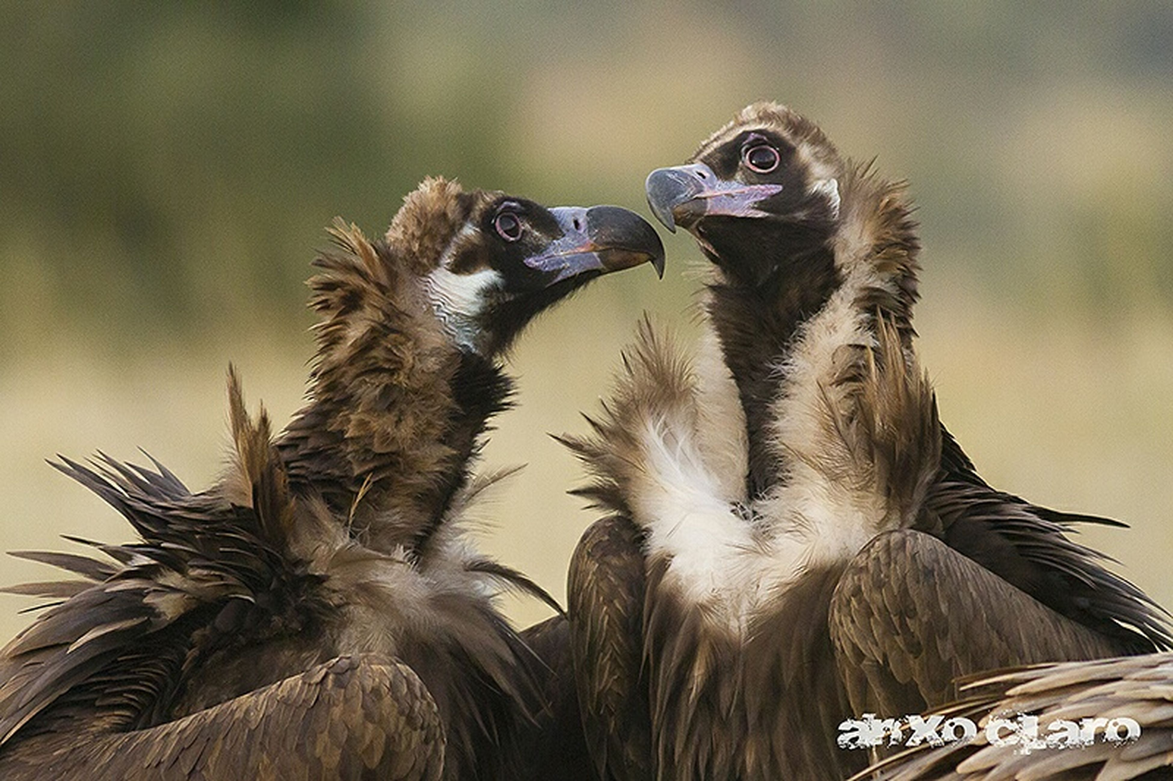 animal themes, bird, animals in the wild, one animal, wildlife, focus on foreground, close-up, bird of prey, nature, feather, day, outdoors, animal head, no people, low angle view, animal hair, beak, two animals, perching, beauty in nature