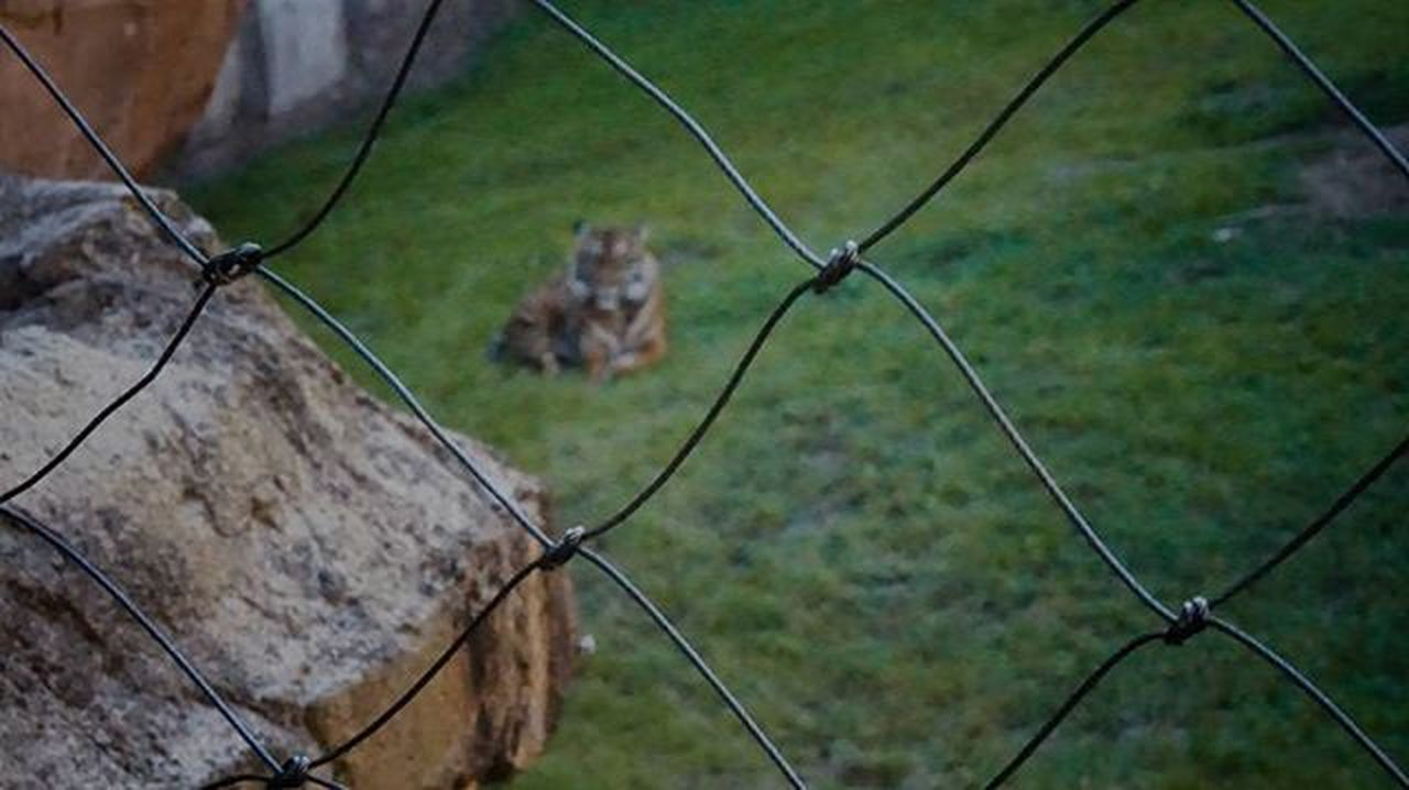 1/1 Thelimitsofexistance Fence Tiger Apeture Tigers Sonya5000photography SonyA7s Sonya7sii SonyA5000 Sonya6000 Trapped Zoo PowerfulImages Wwf