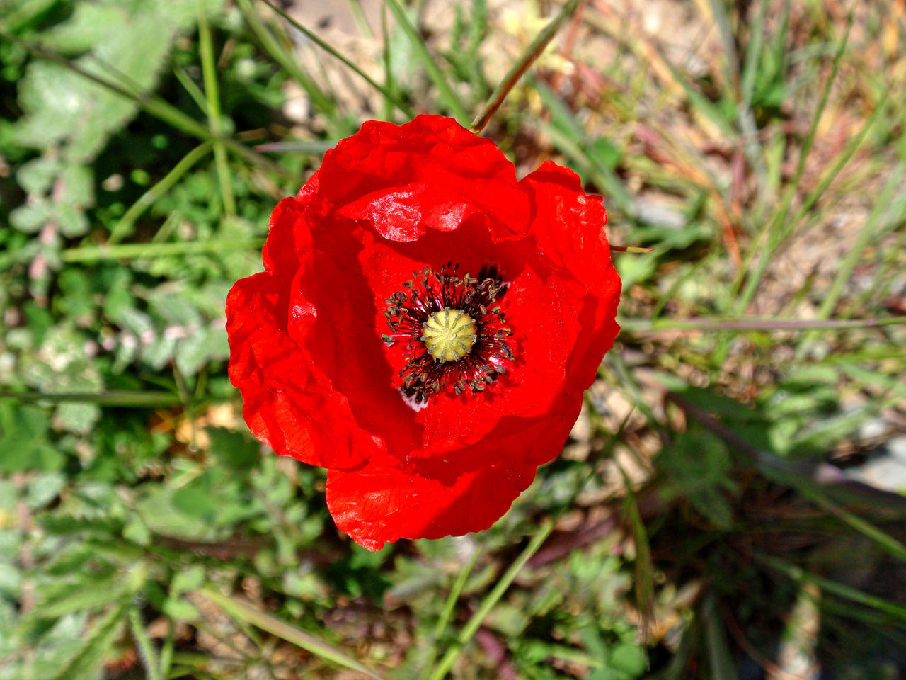 Beauty In Nature Blooming Close-up Day Flower Flower Head Flowers Fragility Freshness Growth Nature Nature No People Outdoors Papaver Papaver Rhoeas Petal Plant Poppies  Poppy Poppy Flower Poppy Flowers Red Red Flower Spring